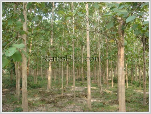 ID: 1179 - Large land with tall teak trees in Ban Keun for sale